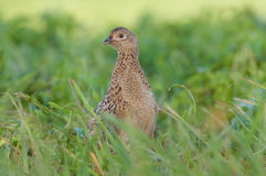 Female pheasant. Photo of female pheasant in a grass Stock Images