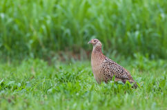 Female pheasant Stock Photo