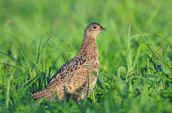 Female pheasant Stock Photos