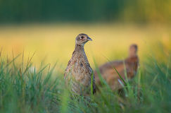 Female pheasant. Photo of female pheasant in a grass Stock Photo