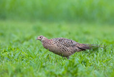 Female pheasant. Photo of female pheasant in a grass Royalty Free Stock Image