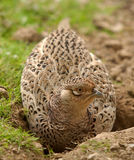 Female pheasant. Photo of a female pheasant resting Royalty Free Stock Image