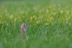 Female pheasant. Photo of female pheasant sticking it's head out of grass Stock Image