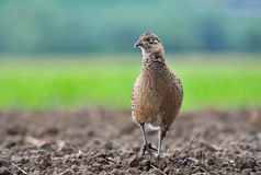 Female pheasant. Photo of wild female pheasant in a field Stock Images