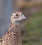 Female pheasant portrait Stock Photo