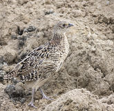 Female pheasant protecting color Royalty Free Stock Image