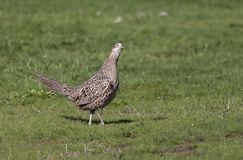 Female pheasant. Stock Photo