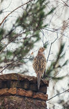 Female pheasant sits front of stone fence winter day Stock Image