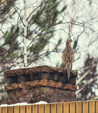 Female pheasant sits front of stone fence winter day Stock Images