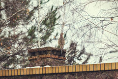 Female pheasant sits front of stone fence winter day Royalty Free Stock Photos