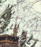 Female pheasant sits frontof stone fence Stock Image