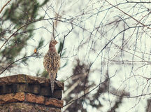 Female pheasant sits frontof stone fence Stock Photography