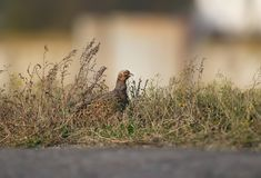 A female pheasant sits in a tall grass. Near a local asphalt road on blurred beige background Royalty Free Stock Photography