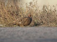 A female pheasant sits in a tall grass. Near a local asphalt road Stock Images