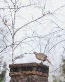 Female pheasant sitting sideways on stone fence stock Royalty Free Stock Photo
