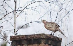 Female pheasant sitting sideways on stone fence stock Royalty Free Stock Image