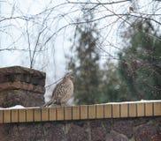 Female pheasant sitting on stone fence Stock Image
