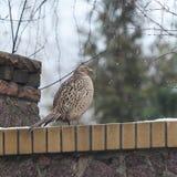 Female pheasant sitting on stone fence Royalty Free Stock Photo