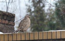 Female pheasant sitting on stone fence Stock Photo