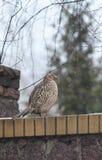 Female pheasant sitting on stone fence Royalty Free Stock Image