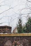 Female pheasant sitting on stone fence and looking back Stock Image