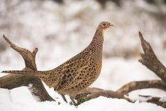 Pheasant, Phasianus colchicus, female stock image