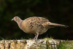 Female Pheasant. A female pheasant standing on an old tree stump Stock Images