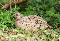 Female pheasant. A female pheasant standing in woodland grass and branches Stock Photography