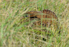 Female Pheasant. Trying to conceal itself in long grass, Texel, North Holland Stock Images