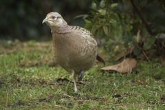 Female pheasant walking on grass Stock Photos