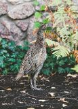 Female pheasant walking on ground in summer garden. Large female pheasant walks on the ground against a stone fence on a summer day Stock Photo