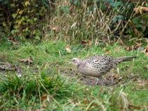 Female Pheasant Royalty Free Stock Image