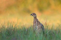 Female pheasant - young Stock Images
