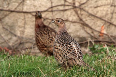 Female pheasants Stock Photography