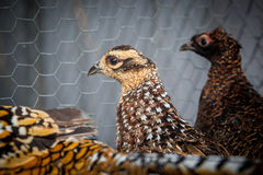 Female pheasants Stock Image