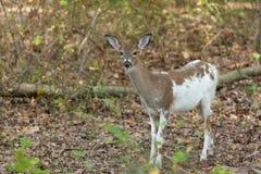 Female Piebald Whitetailed Deer Royalty Free Stock Photo