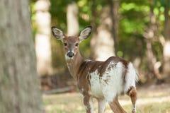 Female Piebald Whitetailed Deer Royalty Free Stock Photos