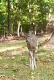 Female Piebald Whitetailed Deer Royalty Free Stock Images