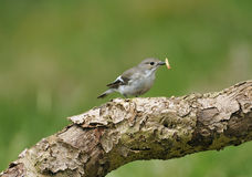 Female Pied Flycatcher Stock Image
