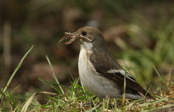A female Pied Flycatcher Ficedula hypoleuca with nesting material in her beak. Royalty Free Stock Image