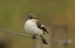 A female Pied Flycatcher Ficedula hypoleuca. Stock Image