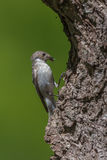 Female pied flycatcher Royalty Free Stock Image