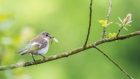 Pied flycatcher female Stock Photo