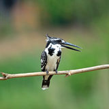 Female Pied Kingfisher Royalty Free Stock Photo