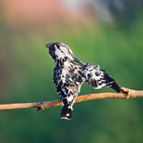 Female Pied Kingfisher Stock Photos
