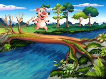 A female pig crossing the river Royalty Free Stock Photo