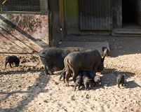 Female pig feeding piglings. Outdoor composition royalty free stock image
