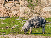 Female pig feeding with teats full of milk for the piglets. Royalty Free Stock Images