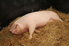 Female Pig. Royalty Free Stock Photography