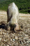 Female pig looking for food Stock Photo